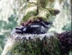 Marbled Murrelet nesting on old-growth tree branch
