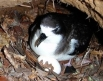 Hawaiian Petrel and egg by Kauai Endangered Seabird Recovery Project