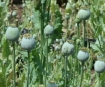 Poppies growing in Afghanistan.
