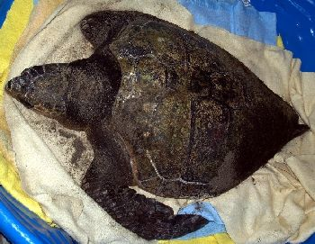 Loggerhead turtle that washed ashore at Gearhart, Oregon 12-28-07