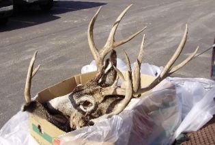 deer heads discovered in the parking lot of the Newport Walmart store