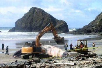 Whale being buried near Florence, Oregon