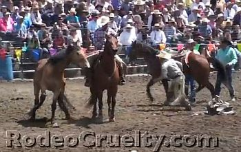 Horse tripping at the Big Loop rodeo